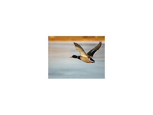 voeux canard 2